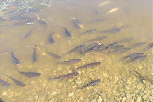 Понад 1,5 млн мальків риби випустили до водойм на Черкащині