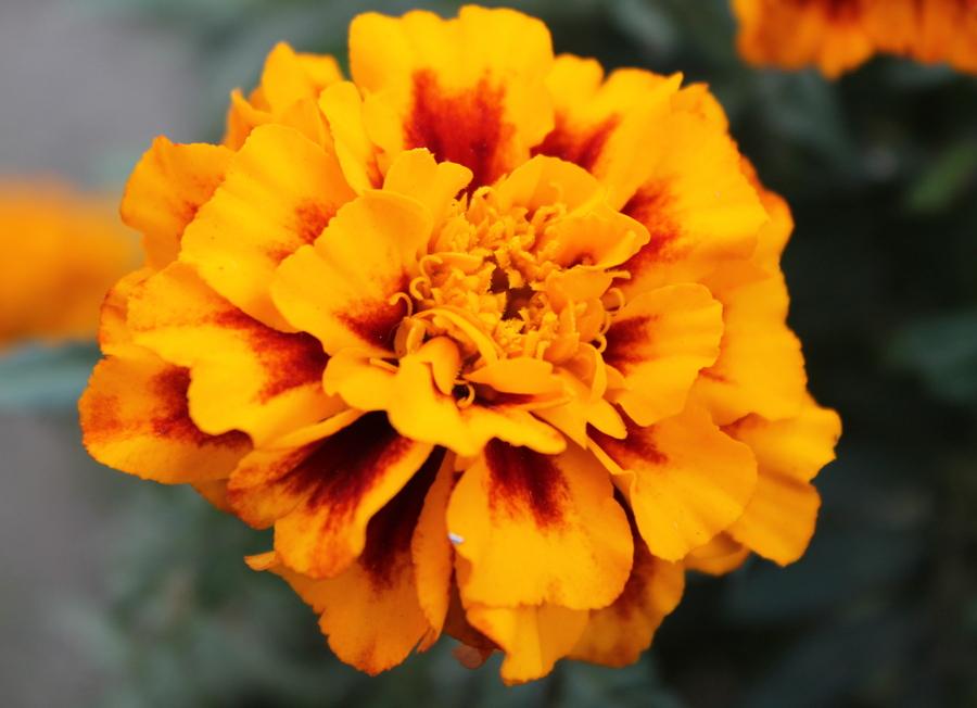 Симфонія осінніх квітів у Черкасах