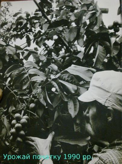 Як посадити інтенсивний горіховий сад