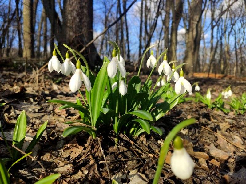 На Чигиринщині цвітуть підсніжники