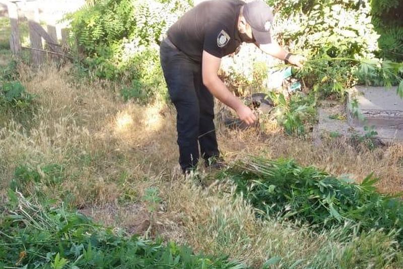 На Смілянщині виявили посів коноплі