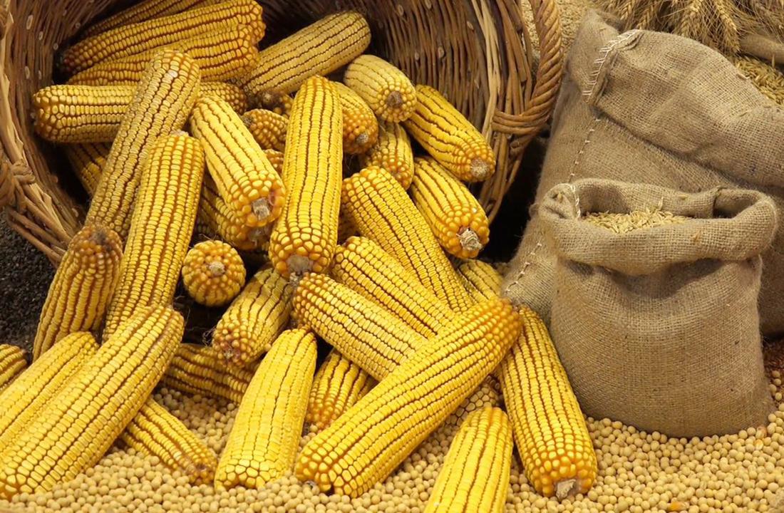 На Черкащині розпочали збирати пізні зернові та технічні культури