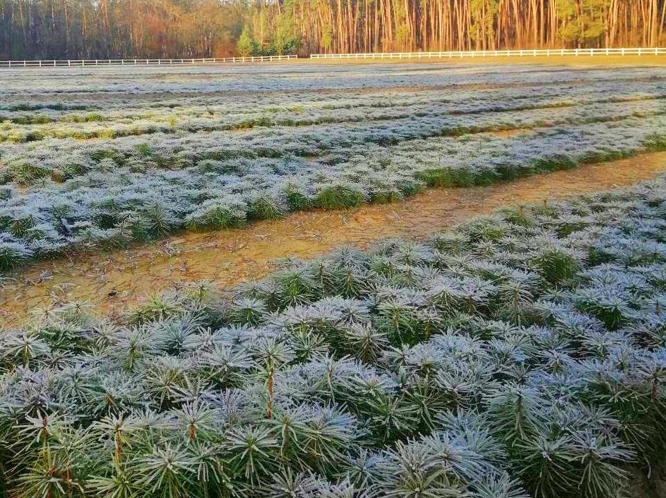 У лісорозсадниках держлісгоспів Черкаської області зростає 8 мільйонів сіянців