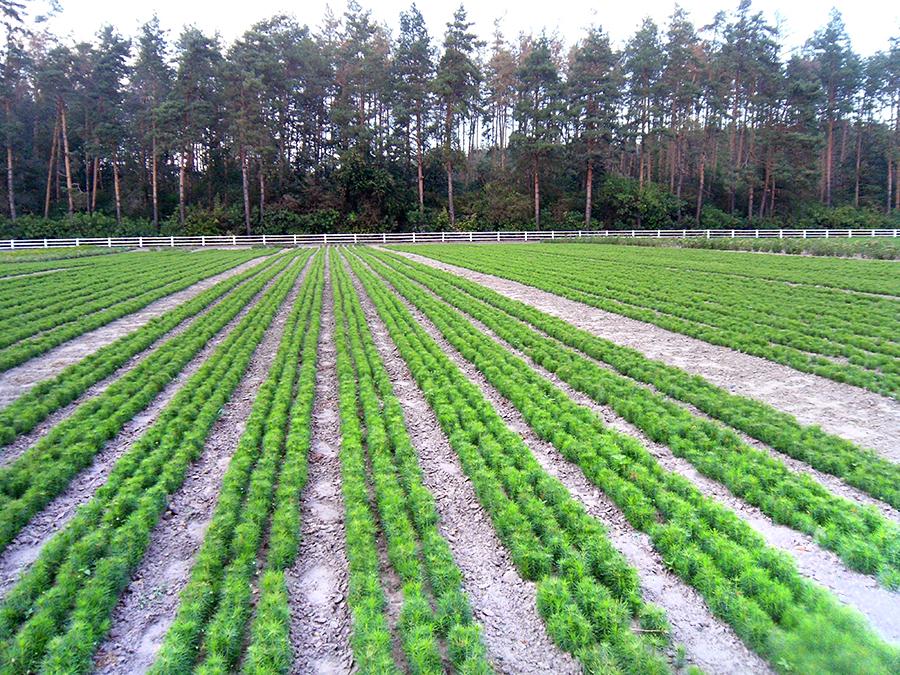 У лісових розсадниках держлісгоспів Черкащини зростають сіянці понад 30-ти деревних та чагарникових порід