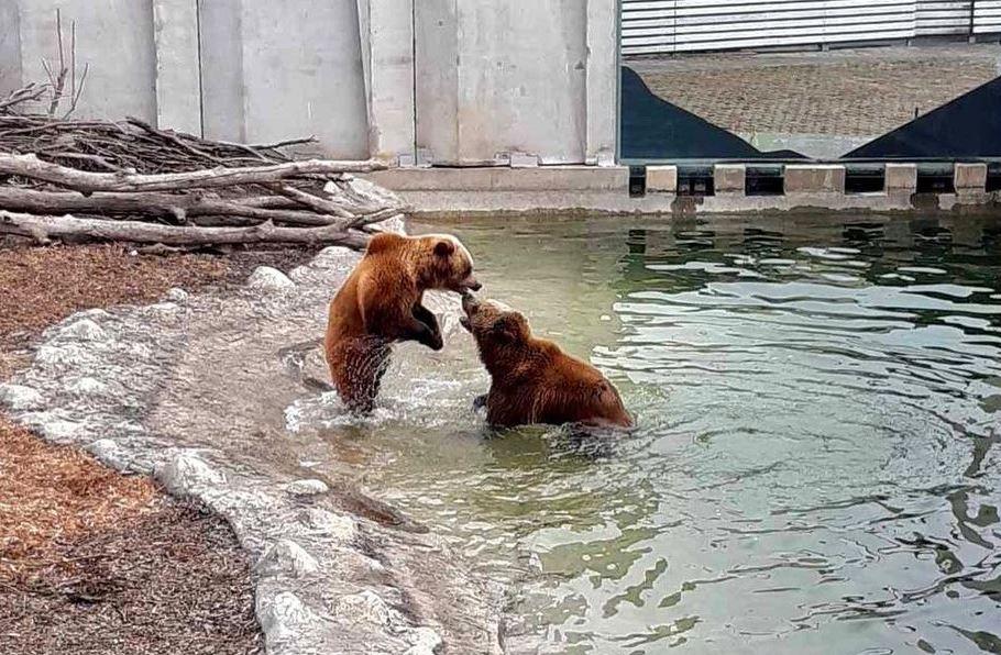 Ведмеді в Черкасах пробудилися та вийшли з барліг