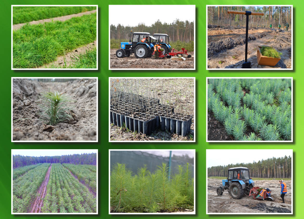 Майже тисячу гектарів висадили лісівники Черкащини