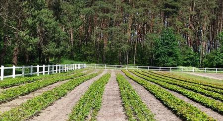 У лісорозсадниках держлісгоспів області зростають сіянці майже 30-ти деревних та чагарникових порід