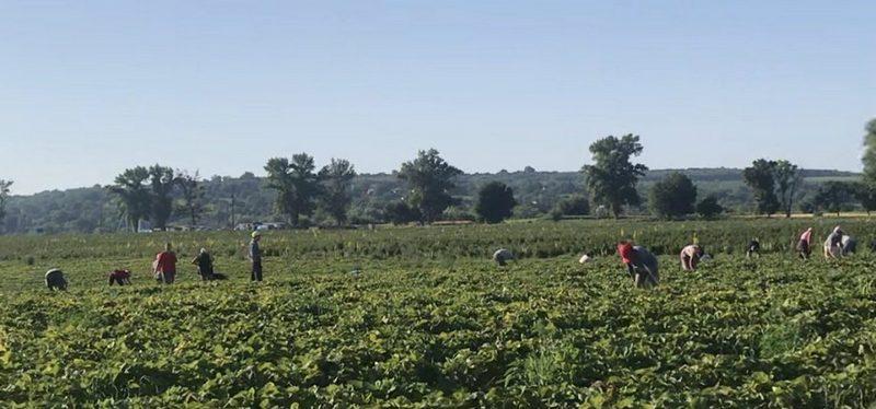 На Черкащині понад сотня працівників нелегально збирали полуницю