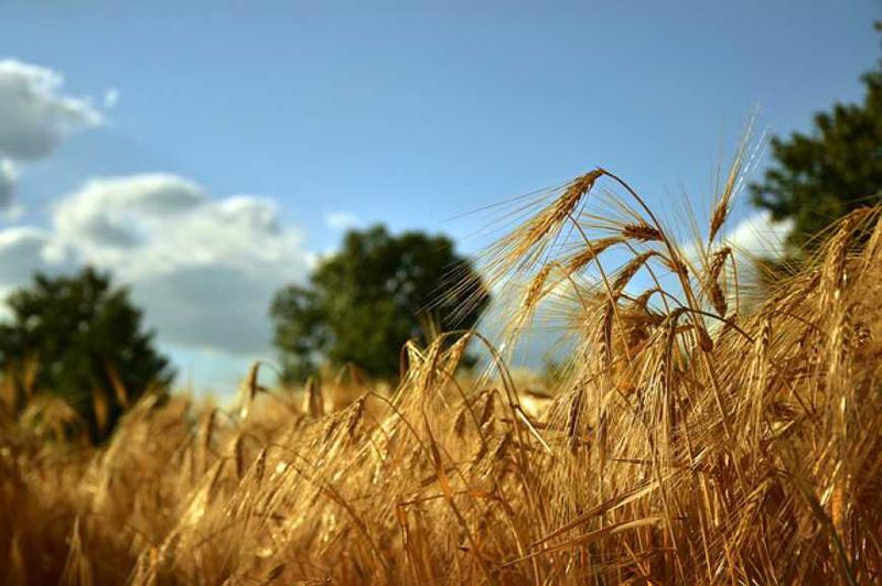 На Черкащині завершили збір врожаю ранніх зернових культур