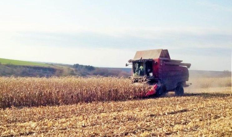 В області почали збирати пізні зернові